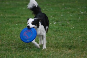 border collie avec dog disc frisbee