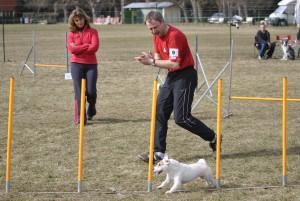 jack russel en slalom agility